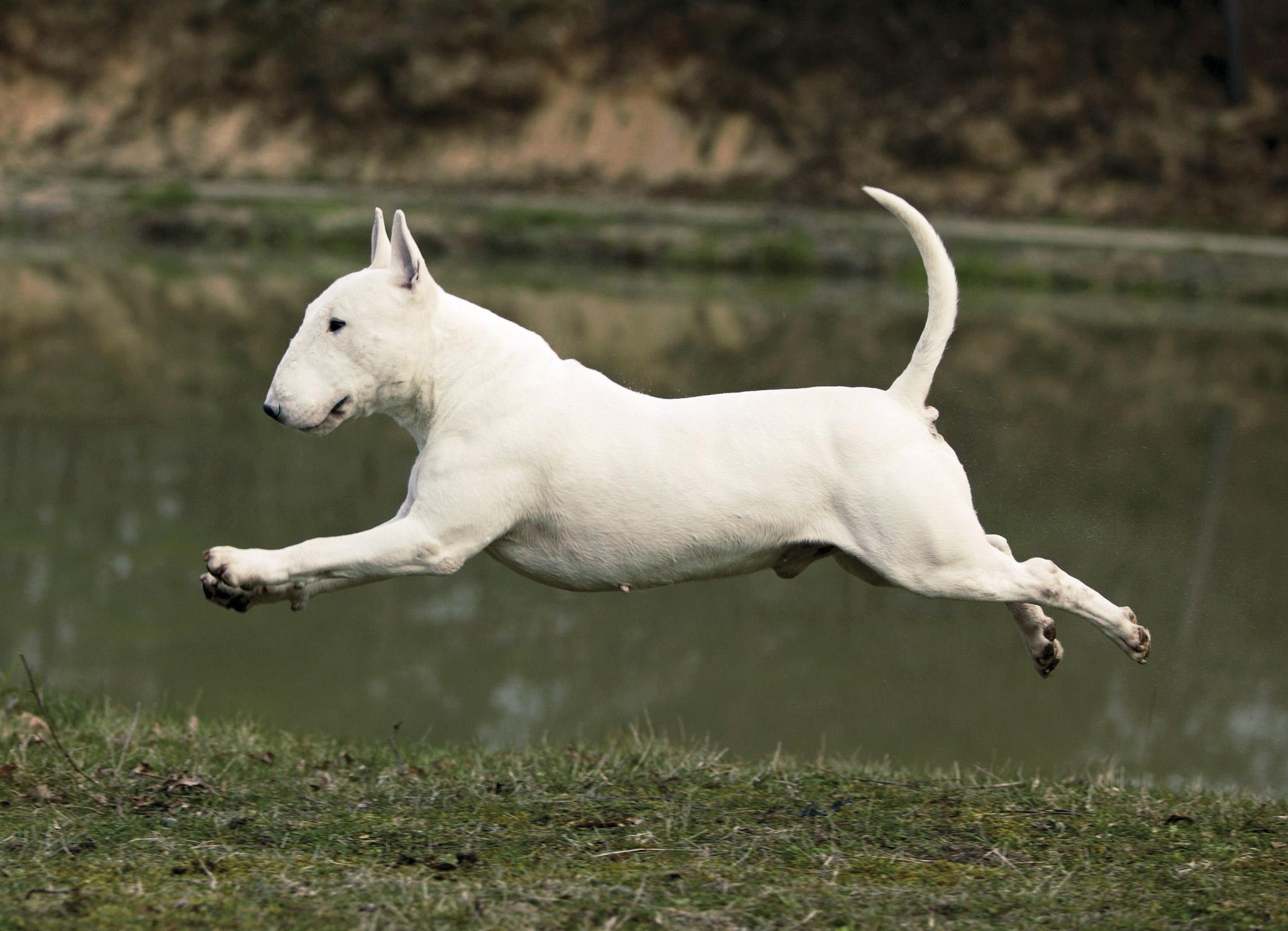 Картинки с собаками породы бультерьер