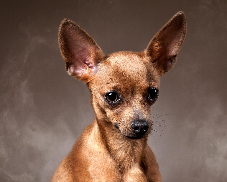 ᐉ Порода собаки смесь пуделя и болонки: кудрявый щенок -