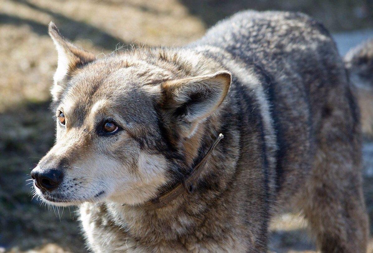 Картинки с овчарками и волками