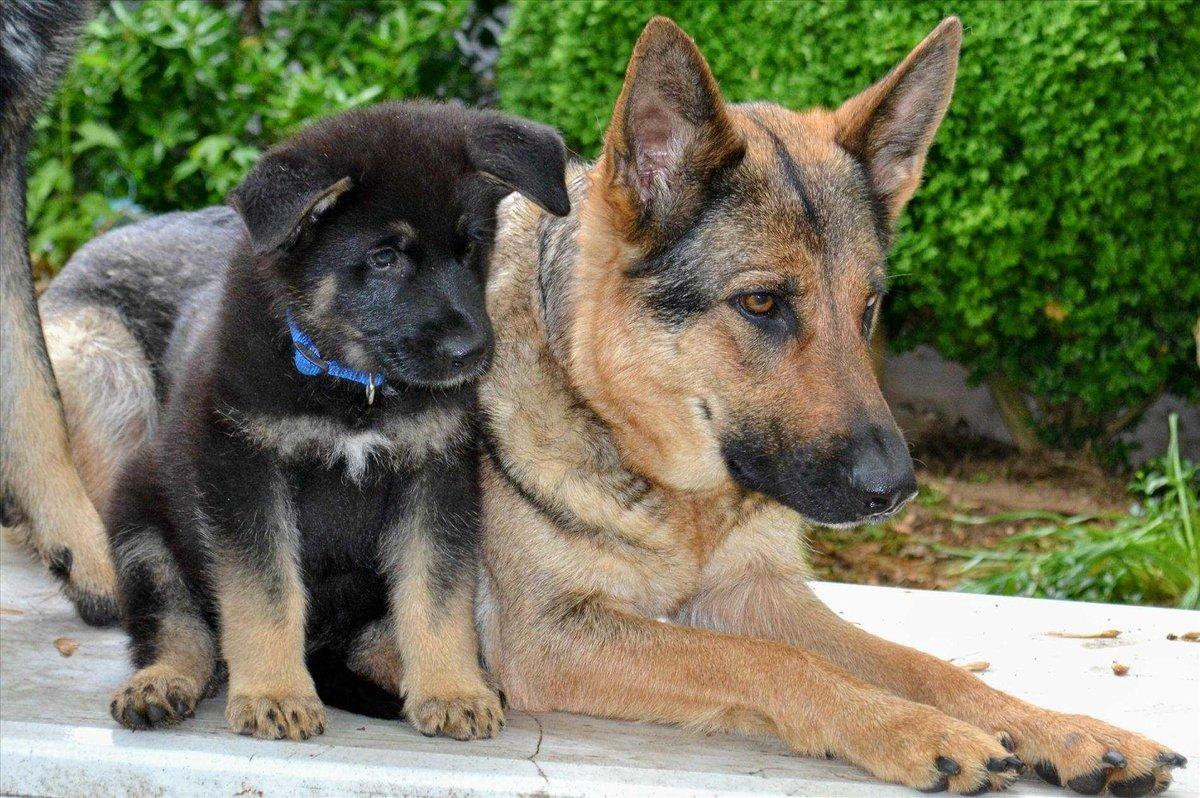 Картинки собак и щенков немецкой овчарки