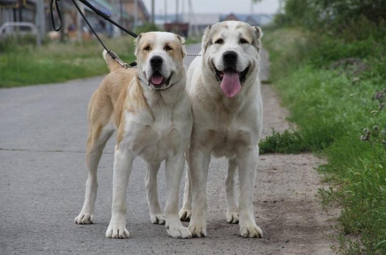 Алабай собака сколько весит взрослый