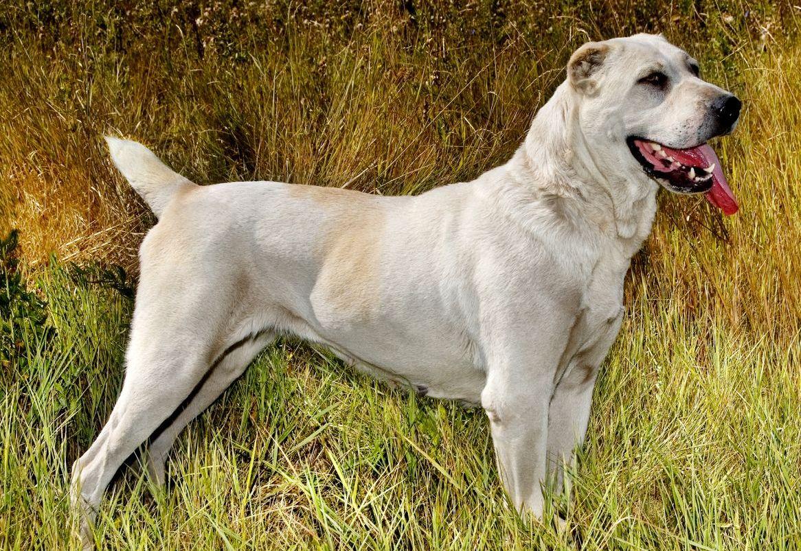 До какого возраста растет порода собак алабай