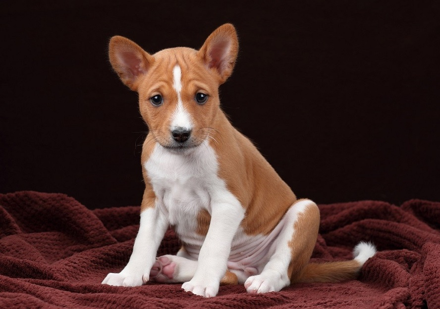 """Басенджи: собака, которая не умеет лаять   Телеканал """"Санкт-Петербург"""""""