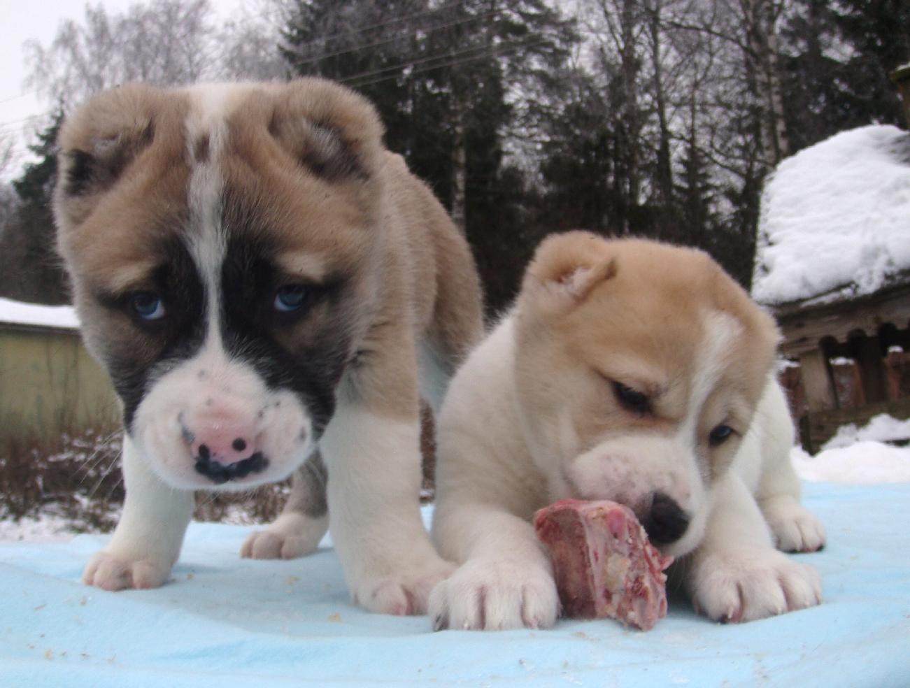 Как кормить алабая: рацион для щенка и взрослой собаки